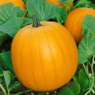 Pumpkin Jack O'Lantern Country Value Range Seed