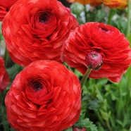 Ranunculus Red (10 Bulbs)