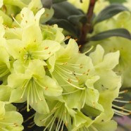 Rhododendron Princess Anne (12cm)