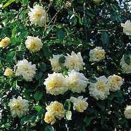 Rose Alberic Barbier Rambler (1 Root)
