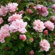Rose Albertine Rambler (1 Root)
