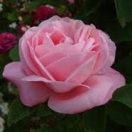 Rose Baroness Rothschild Shrub (1 Root)