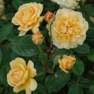 Rose Buff Beauty Climber (1 Root)