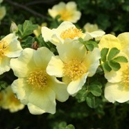 Rose Canary Bird Shrub (1 Root)