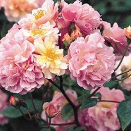 Rose Cornelia Shrub (1 Root)