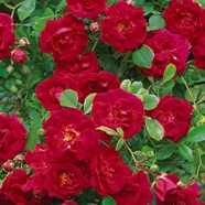 Rose Crimson Showers Rambler (1 Root)