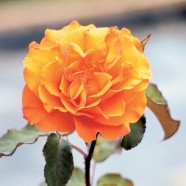 Rose Doris Tysterman Hybrid T (1 Root)