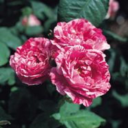 Rose Ferdinand Prichard Shrub (1 Root)