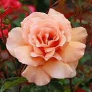 Rose Just Joey Hybrid T (5 Ltr)