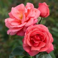 Rose Leaping Salmon Climber (5 Ltr)