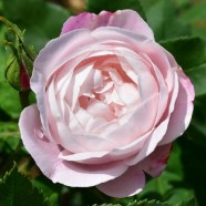 Rose Mme. Pierre Oger Shrub (1 Root)