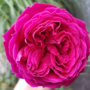 Rose Othello Shrub (1 Root)