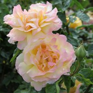 Rose Peace Hybrid T (1 Root)
