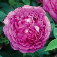 Rose Reine Des Violettes Shrub (1 Root)
