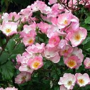 Rose Rosy Cushion Ground Cover (5 Ltr)