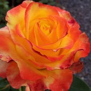 Rose Tequila Sunrise Floribunda (1 Root)