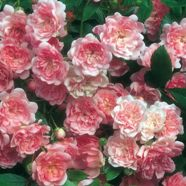 Rose Super Fairy Shrub (1 Root)