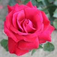 Rose Thinking Of You Hybrid T (5 Ltr)
