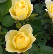 Rose Yellow Dream Patio (5 Ltr)