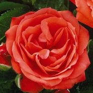 Rose Orange Sensation Floribunda (5 Ltr)