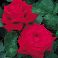 Rose Ruby Wedding Hybrid T (5 Ltr)