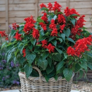 Salvia Blaze Of Fire Seeds