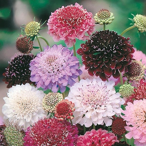 Scabious Tall Double Mix Seeds