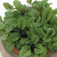 Leaf Salad Sorrel Red Veined Seeds