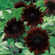 Sunflower Black Magic Seed Mr Fothergill's