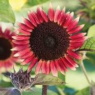 Sunflower Ms Mars Seeds