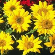 Sunflower Pacino Country Value Range Seed