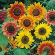 Sunflower Sunburst Mixed Seeds