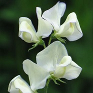 Sweet Pea Greenfingers Kings Seed Range