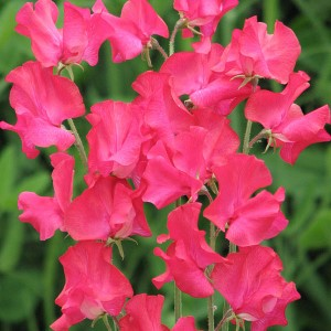Sweet Pea Judith Wilkinson Seeds