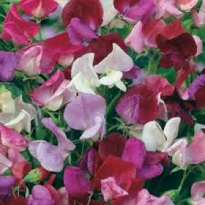 Sweet Pea Old Fashioned Mix Seeds