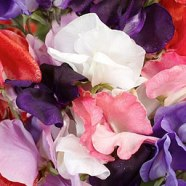 Sweet Pea Royal Mix Country Value Range Seed