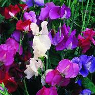 Sweet Pea Spencer Mix Country Value Range Seed
