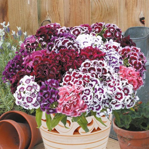 Sweet William Electron Seeds