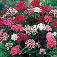 Sweet William Single Mix Country Value Range Seed