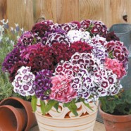 Sweet William Electron Mr Fothergills Range Seed