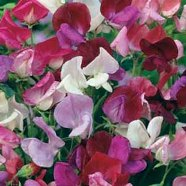 Sweet Pea Old Fashioned Mix Country Value Range Seed