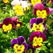 Viola Bambini Mix Country Value Range Seed