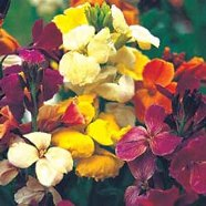 Wallflower Monarch Fair Lady Country Value Range Seed