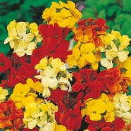 Wallflower Dwarf Bedding Mixed Mr Fothergill's Range Seed