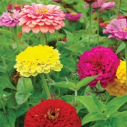 Zinnia Giant Double Country Value Range Seed