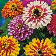 Zinnia Whirlygig Improved Mixed Mr Fothergill's Seed