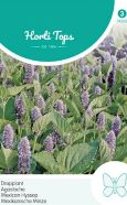 Agastache Mexican Hyssop Seeds
