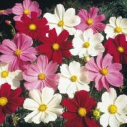 Cosmos Sensation Mix Seeds