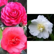 Camellia Collection (9cm Pot (3))
