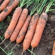 Carrot Marion F1 Seeds